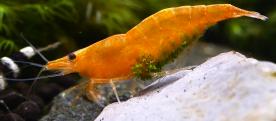 ellobiopsidae1.png