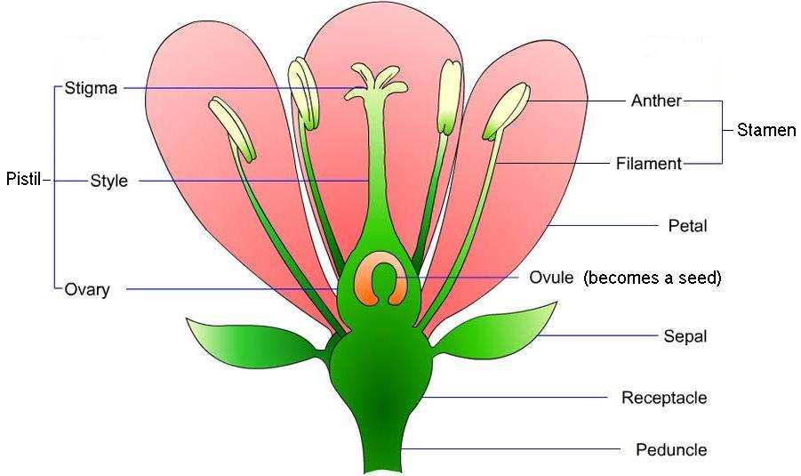 flower parts.jpg