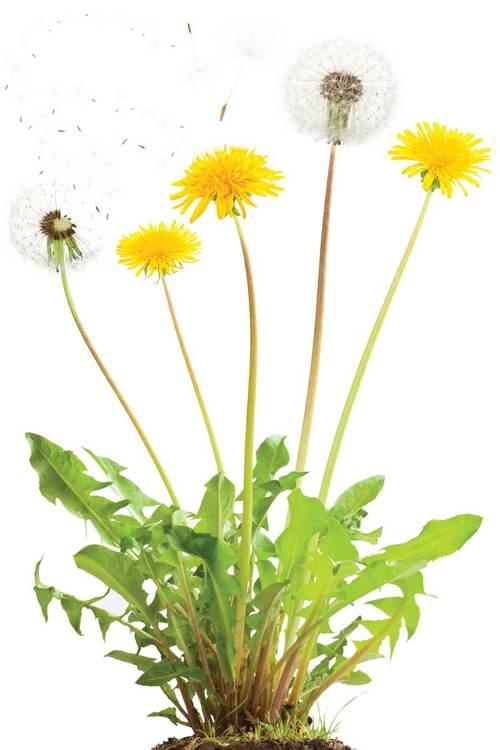 NH-MA11-dandelion-plant.jpg