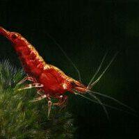 Shrimpscaper
