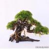 ESTABLISHED BONSAI DRIFTWOOD TREE - OZ1.png