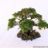 ESTABLISHED BONSAI DRIFTWOOD TREE - OZ2.png