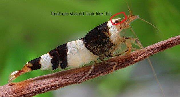 cbs-s-crystal-black-bee-shrimp.jpg.5e03b7da935af8c8f0bf8f4ea5e2c60b.jpg